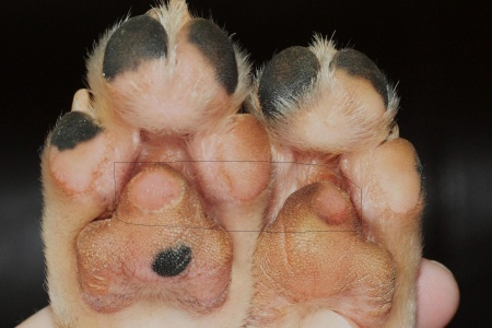 Area outlined in pencil-looks painful, huh? Poor thing! Sweet little puppy feet!
